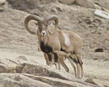A Wild Mouflon